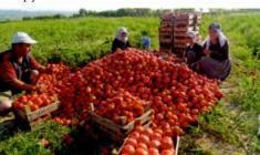 domates-toplamak