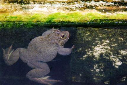 Yenilebilir Kurbağa Yetiştiriciliği