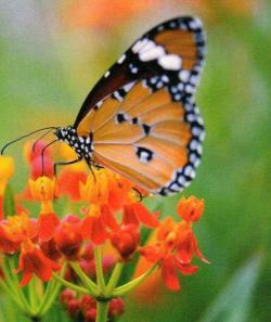 Yavru kral kelebekler