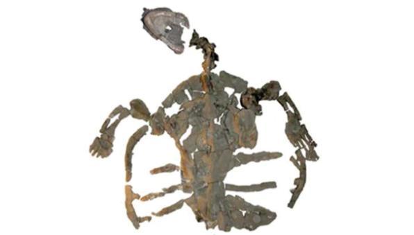 denizkaplumbağası fosili
